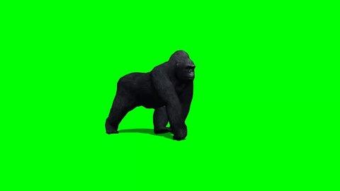 gorilla walks - 2 different views - green screen