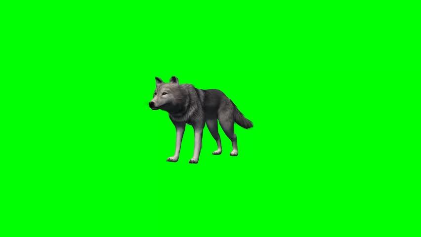 wolf stands and looks around - 4 different views - without shadow - green screen #7777801