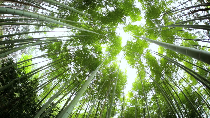 Bamboo forest natural environment construction material sunlight Sagano Japanese canopy harvest travel Arashiyama Kyoto Japan Asia - HD stock footage clip
