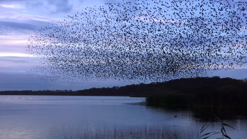 starlings flock together on lake at sunset nature background - Aqualate Mere, Staffordshire, England: November 2014 - 01761149
