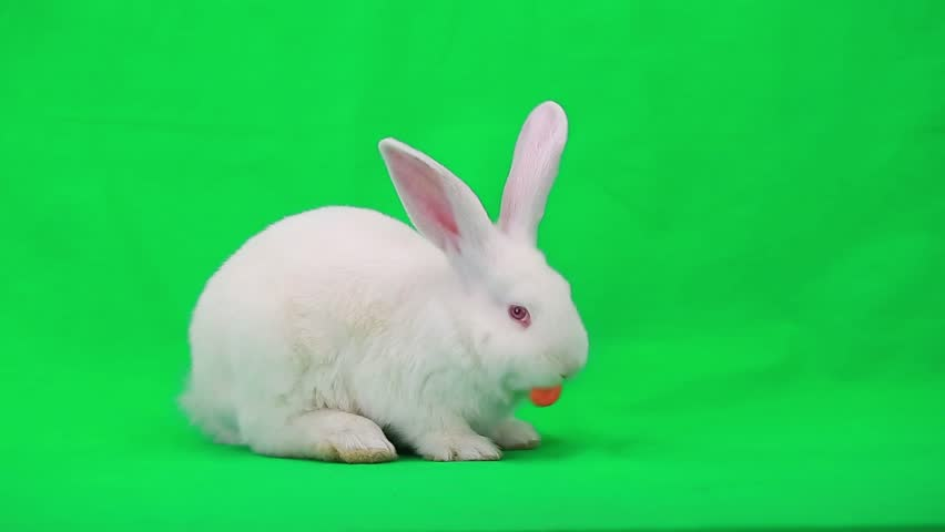 Rabbit with carrot on green screen