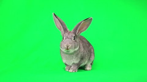 Rabbit  on green screen