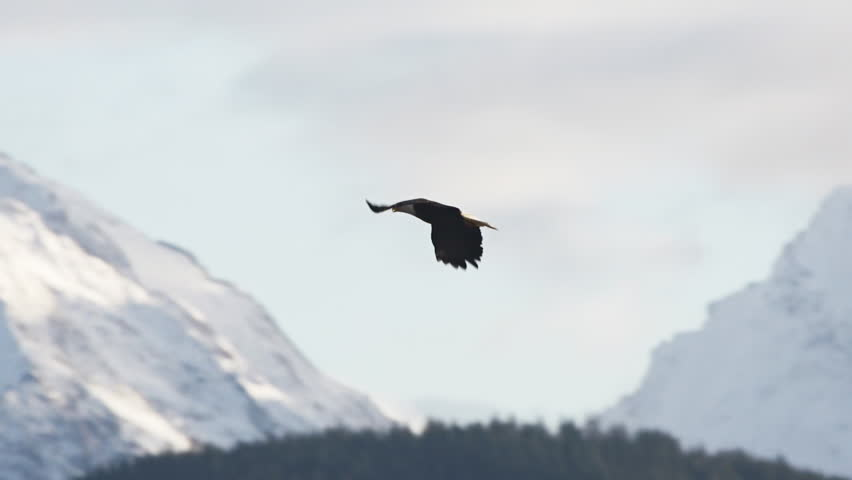Bald eagle flying in the Chilkat Eagle Preserve near Haines, Alaska, in winter. - HD stock video clip
