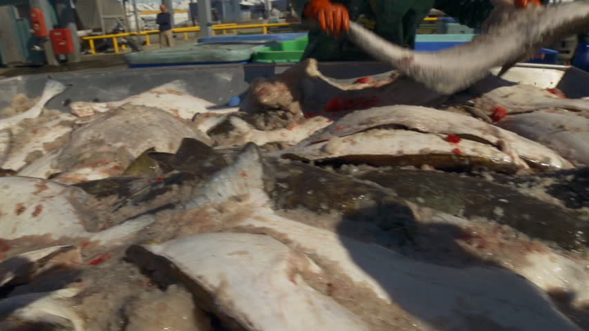 Close handheld shot of a table full of dead halibut fresh off the boat, being sorted by workers. Sound included.