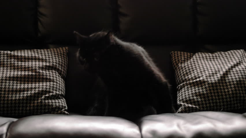 Black cat grooming itself while seated on a black leather couch. | Shutterstock HD Video #7907191