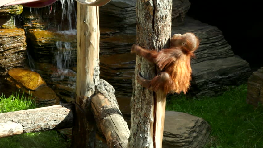 Gymnastic games of an adroit orangutan baby, climbing on the jungle gym. A little great ape is going to be an alpha male. Human like monkey cub in shaggy red fur on the rocky background.
