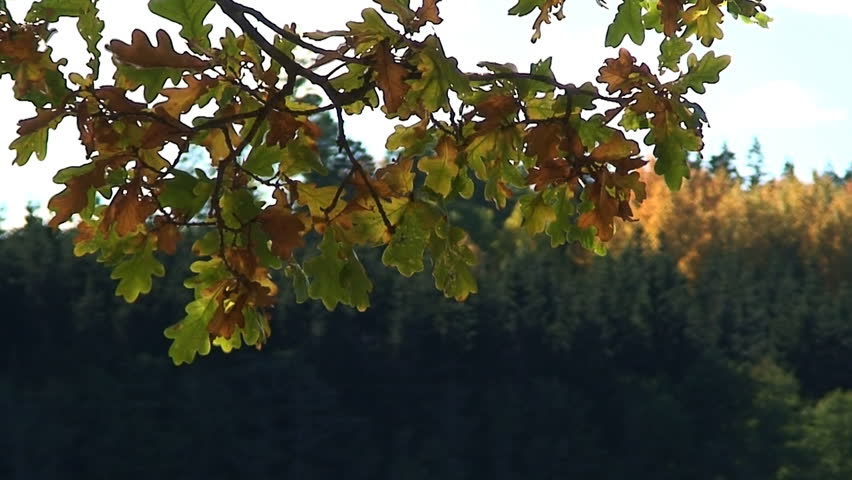 Oak tree leafs changing color during autumn | Shutterstock HD Video #79741