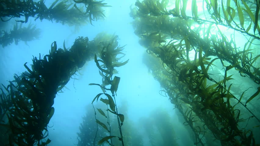 Swimming through thick kelp beds in southern California shows the beauty of the underwater forest.
