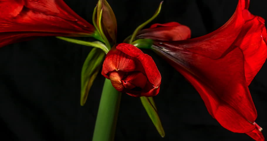 Beautiful Red Amaryllis flower blooming very quickly in time lapse, amazing colours and patterns, on black background