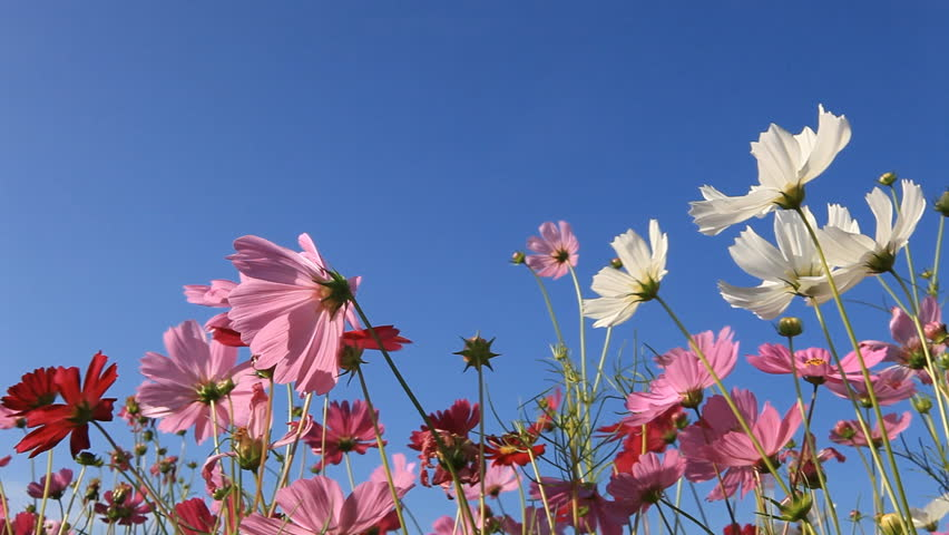 colorful cosmos flowers swaying in the heavy wind #8070658