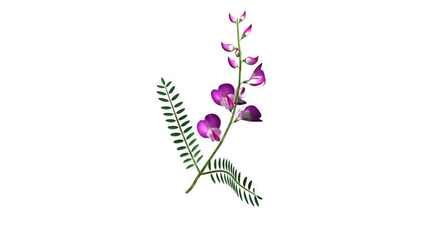 Header of Fabaceae