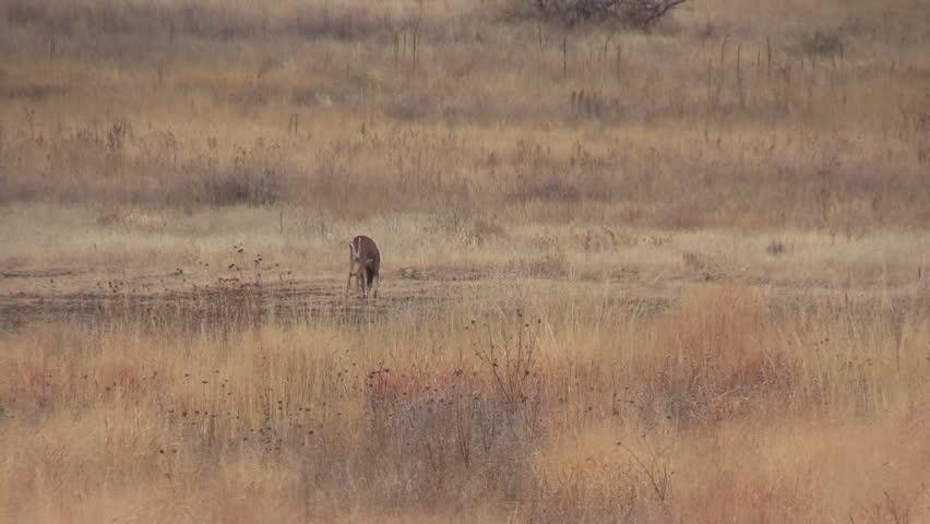 Whitetail Buck Grazing #8130271