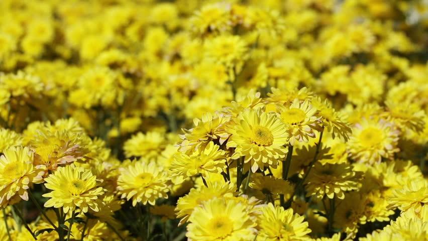 Хризантемы желтые фото цветов