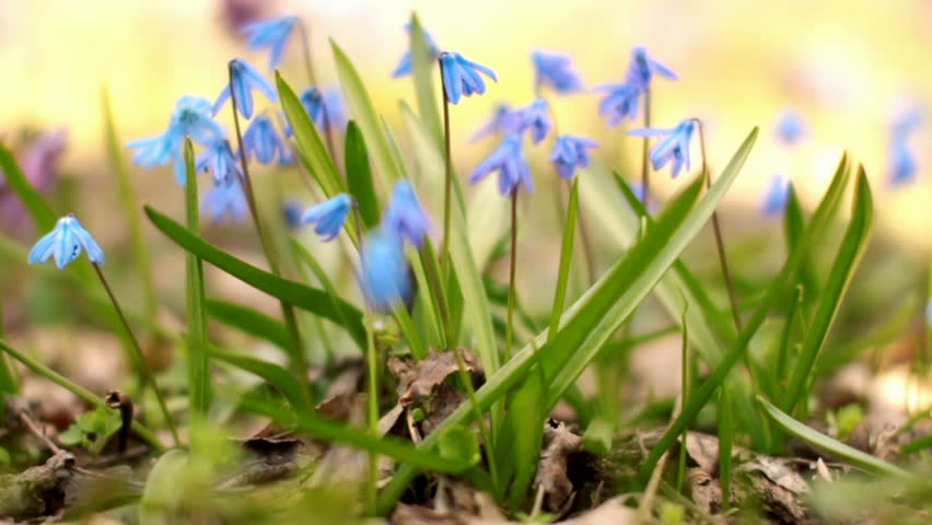 Scilla. Blue spring flowers. | Shutterstock HD Video #8209711