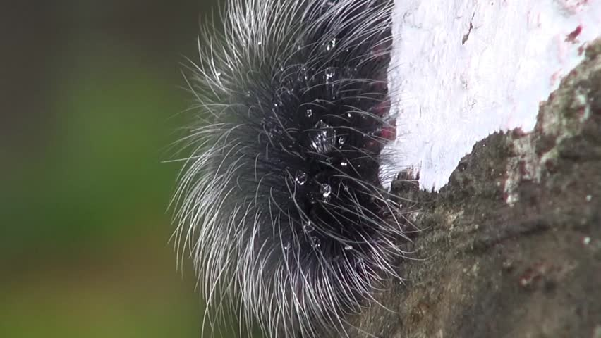 A Very Hairy, Wet Caterpillar A hairy, dew covered caterpillar munches on  tree bark at dawn.