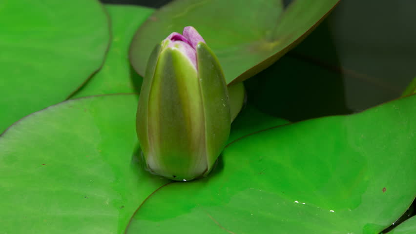 Time lapse opening of water lily flower.Motion:Lotus flower