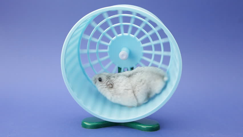 hamster running in wheel on blue background