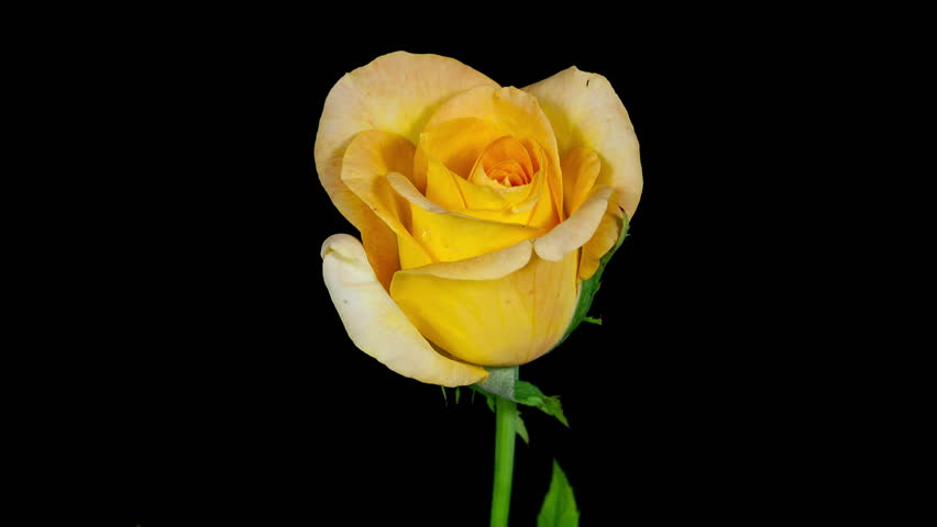 Timelapse Of A Yellow Rose Stock Footage Video 100 Royalty Free