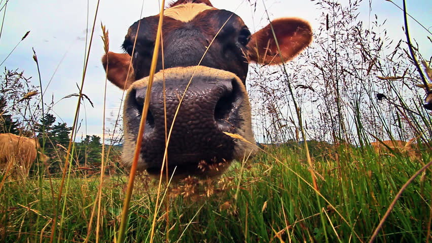 Extreme closeup ants eye view of dairy cows head and tongue eating grass.  At the end of the clip she licks the lens