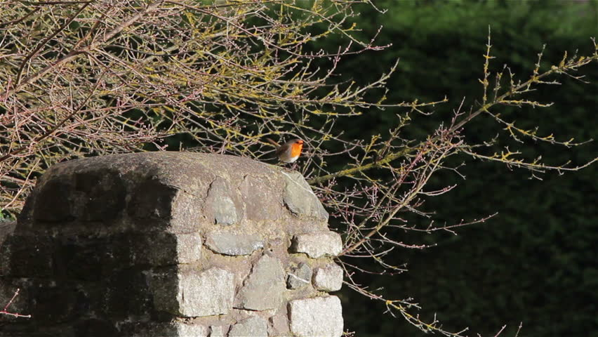 red robin wide on christmas day natural background wild bird singing on stone wall filmed christmas day 25th december 2014 location chudleigh devon - Is Red Robin Open On Christmas