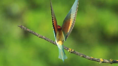 SLOW MOTION, Birds Bee-eaters landing on a branch and perching, Merops apiaster