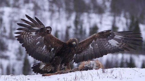 Golden Eagle amazing flight landing on ground in front of carcass