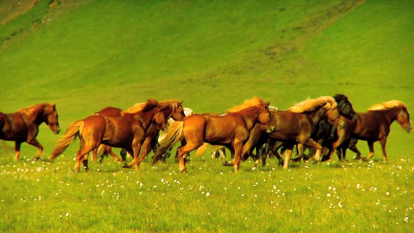 Wild horses on rural pasture land 60 FPS