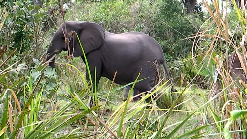 A female elephant with calf in background charges towards the camera. Shot in HD720p