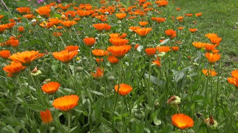 calendula marigold medical flowers blossoms and butterfly. Herbs flowerbed in garden