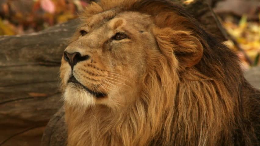 8k Animal Wallpaper Download: Close Up Of Male Lion's Face. Filmed In Kenya, Africa