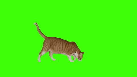 Three versions of yellow cat crossing frame. 4k green screen. Shot with Red Dragon.