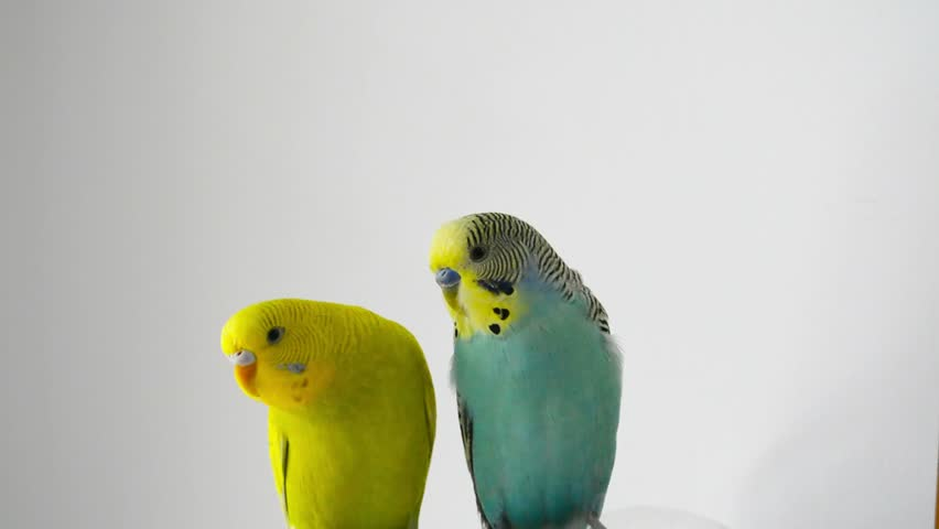 nice parrots perus cople  on white background