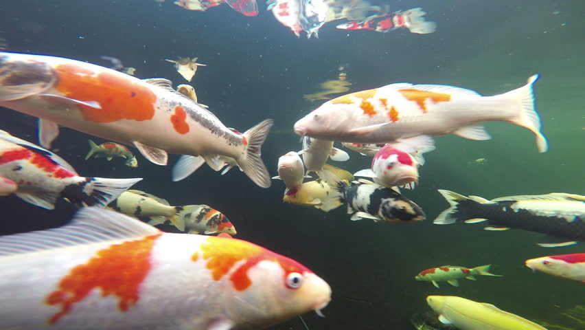 Underwater View Of Japanese Koi Fish Swimming Stock ... Japanese Koi Fish Swimming