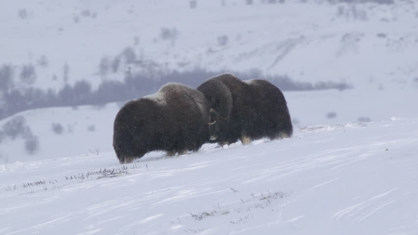 Two bull musk ox fighting in snow and wind winter scenery