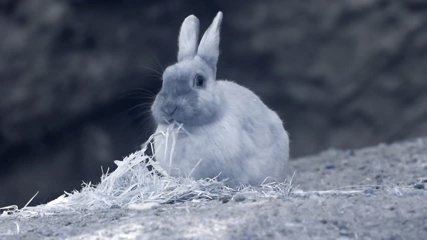 Infrared fauna: baby rabbit eating grass