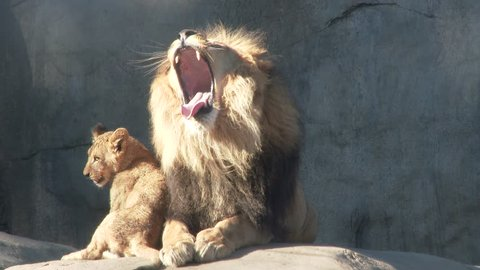 Adult male lion shows dominance and love to his two cute and energetic cubs.