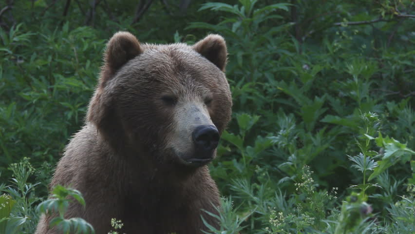 Bear, a portrait