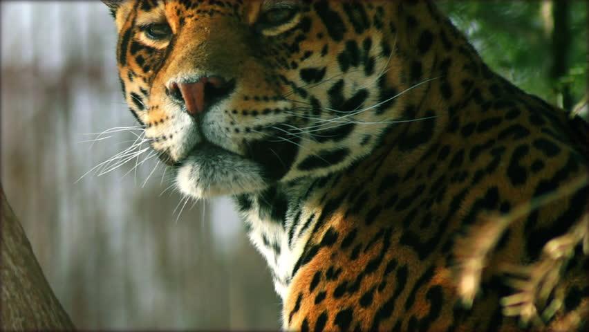 Close-up of a female jaguar (Panthera onca,), slow motion. #8914270