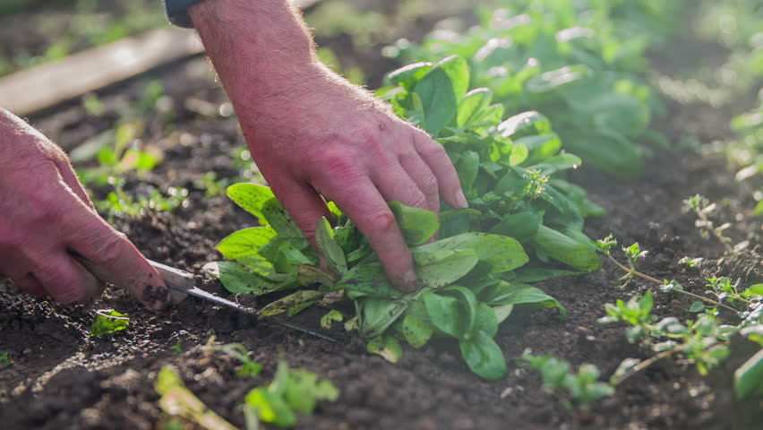 Pick up the nature lettuce from eco garden. On this slow motion close-up footage is a home-grown lettuce who is being picked up right after the rain on a sunny day. | Shutterstock HD Video #8951011