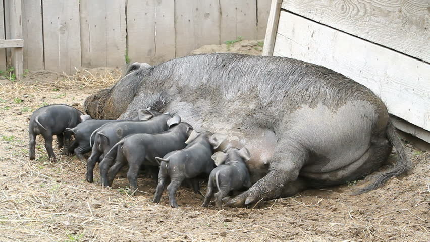 Young pigs eating eagerly on the mother sow as she lays on the ground. The piglets are fighting over her nipples for nourishment and food. Not yet weaned. Very large female pig sow. Farm.