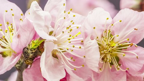 HD 1080p macro timelapse video of a pink apricot fruit tree flower growing and blossoming on a dark background/Apricot flower blooming macro time lapse
