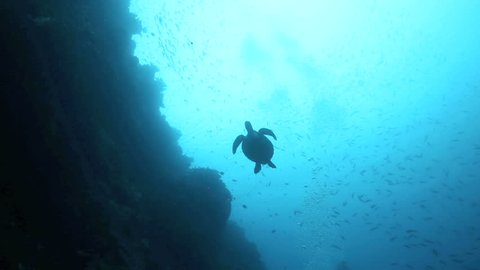 Low angle silhouette view of green sea turtle swimming underwater at Bunaken Island, Indonesia