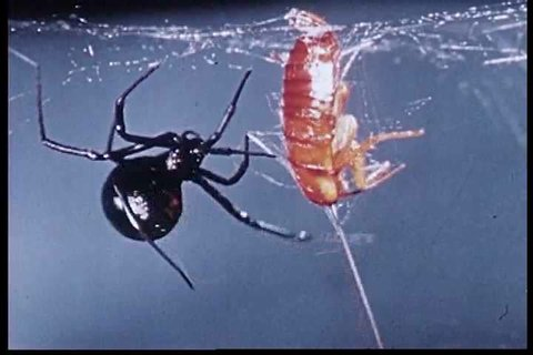 CIRCA 1960s - The life of a black widow spider