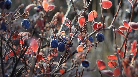 Autumn, tundra, berries
