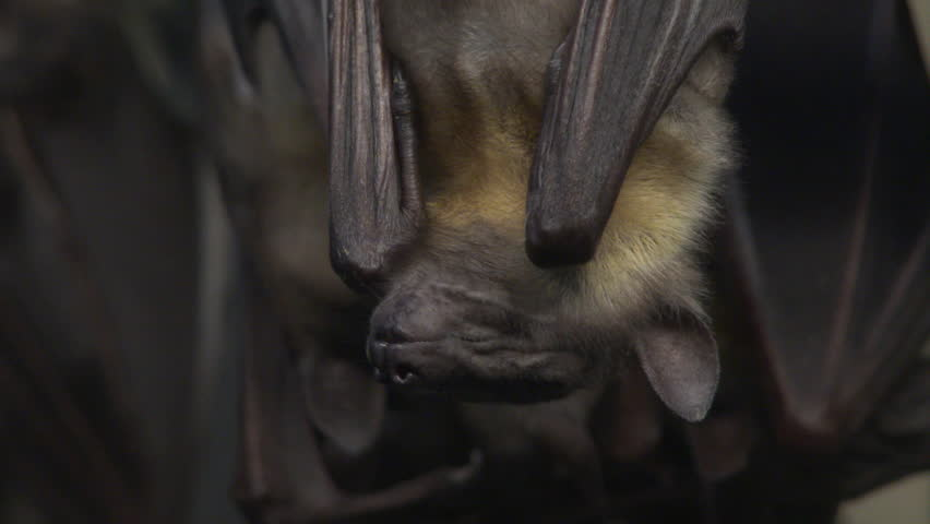 Upside down fruit bats sleeping, close up.