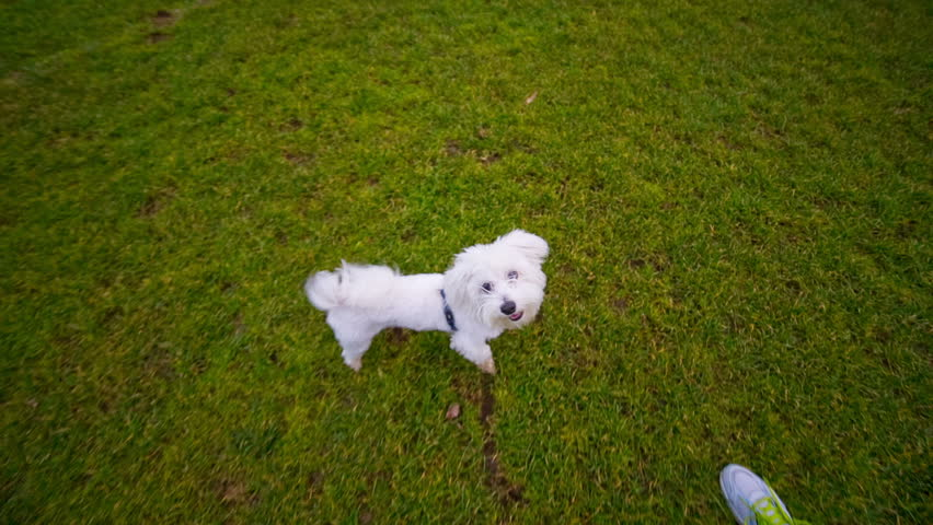 Cute white puppy jumping in camera. Playing with hyperactive Maltese puppy jumping on green field.