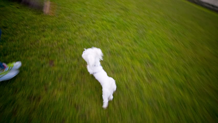 Running with Maltese puppy fetching toy. Exercising outdoors with cute white hyperactive Maltese dog on green field. | Shutterstock HD Video #9319421