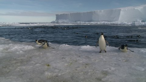 Emperor penguins (Aptenodytes forsteri) swimming in wide ice hole, some exiting water to camera, Cape Washington, Antarctica