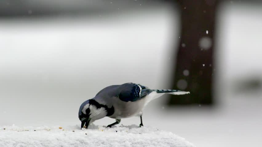 A blue jay bird eating seeds in a winter snowstorm flies away