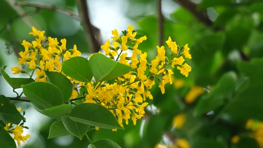 Indian Rosewood Flowers Are Blossoming Stock Footage Video 100